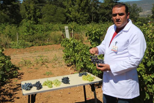 Anadolu'da üzüm üretiminde çeşitliliğiartıracak araştırma tamamlandı