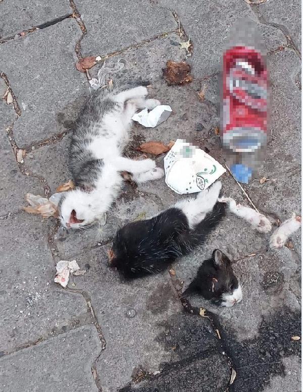 Yavru kediler, köpeklerin saldırısı sonucu ölmüş