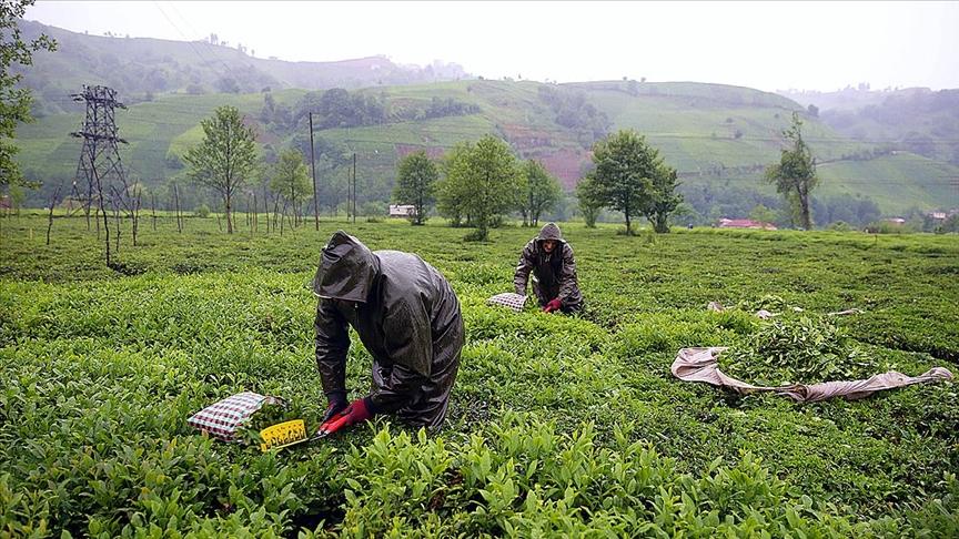 Çay sektörü üreticiyi bitirmek için çaba gösteriyor